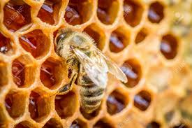 Closeup of bee on honeycomb filled with raw honey
